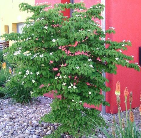 moderner Vorgarten mit japanischem Blumenhartriegel