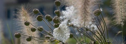 Herbststimmung im Garten - Lampenputzergras (Pennisetum) und die Samenstände von Japan-Herbstanemonen