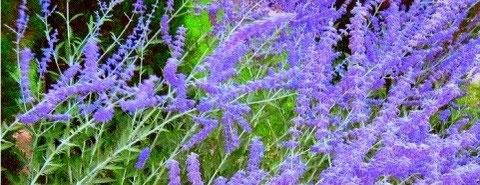 Blauraute (Perovskia) für den mediterranen Garten