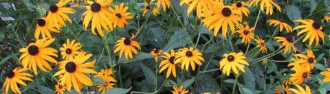 Rudbeckia - Sonnenhut für den Präriegarten