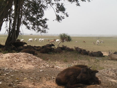 木陰で昼寝をする水牛たち