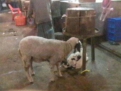 市場の中で屠殺されるのを待つ山羊たち