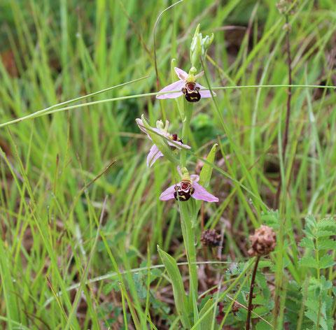 Prunélla vulgaris