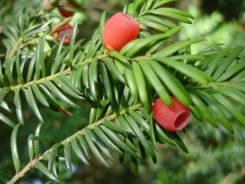 EIBE: Achtung! Die schleimigen Scheinfrüchte sind süss und fein, doch die Samen sind giftig!! Unbedingt ausspucken!!!