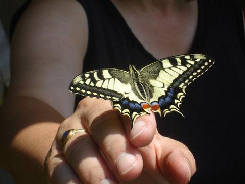 Papilio machaon L. (Wölflinswil, 16. Juli 09)