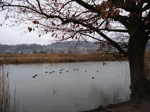 Trotz grauen Wetters konnte eine beachtlich Anzahl Wasservögel beobachtet werden.