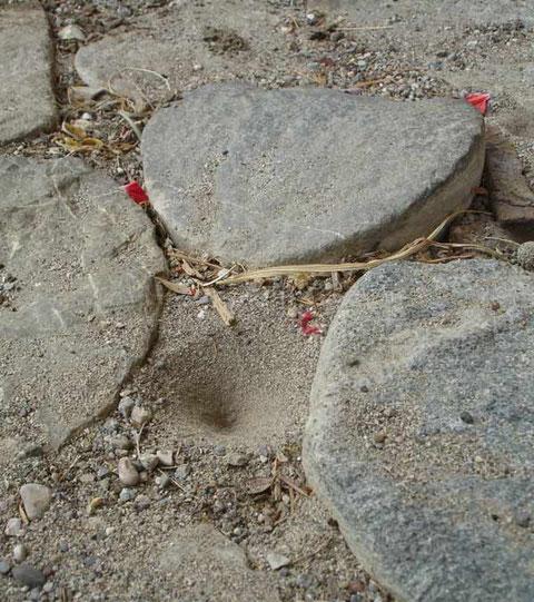 Die Larve sitzt unten im Sandtrichter und lauert darauf, bis sie mit ihrer Zange eine Ameise packen kann.