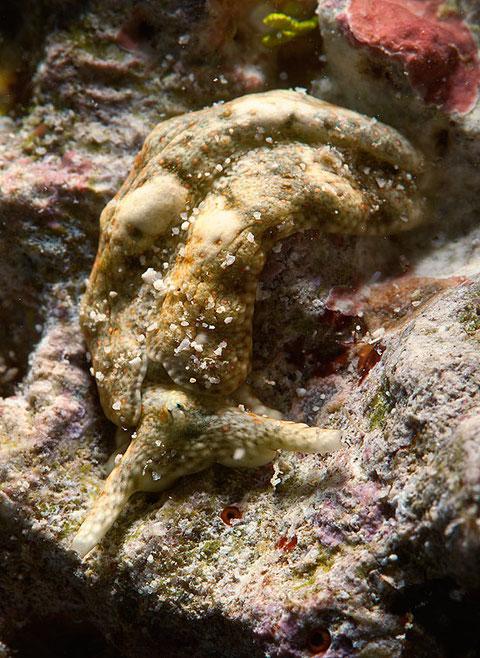 Plakobranchus ocellatus