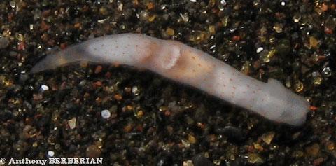 Gymnodoris alba