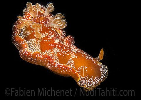 Hexabranchus sp. 2, Tahiti, 4 cm.