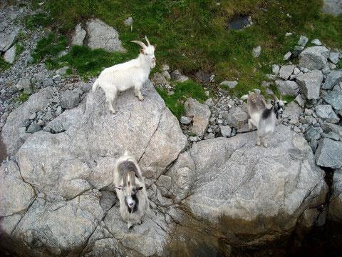 Ziegen am Ufer des Lysefjord, ... neugierig wie alle Tiere.