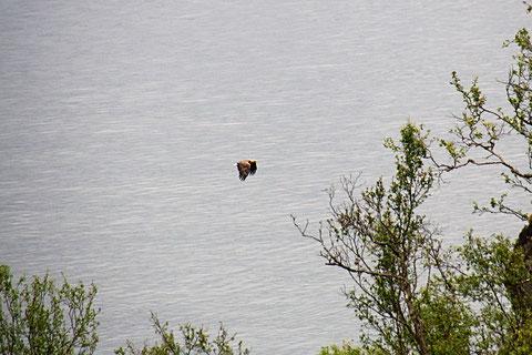 Seeadler bei einer unserer Wanderungen entdeckt.