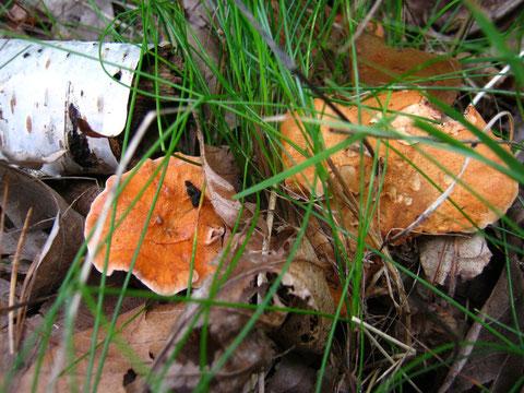Rotbrauner Semmelstoppelpilz, Hydnum rufescens