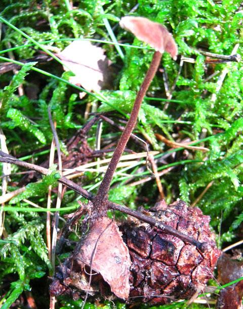 Ohrlöffelstacheling,Auriscalpum vulgare,Kiefernzapfen