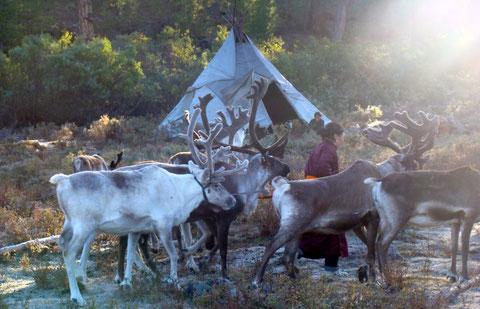 Camp Tsaatan éleveurs de rennes vivant en tipi sur les plateau au nord ouest du lac Khovsgol