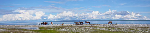 Les chevaux sur la rive sud du lac Khovsgol