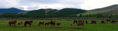 Chevaux en libertés sur la vallée d'Orkhon
