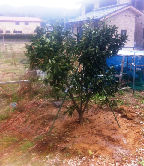 3/19 ミルティーユに温州みかんの木を植える