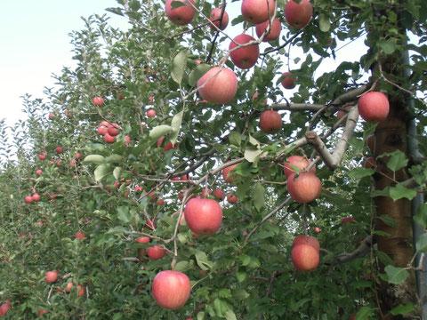 中沢リンゴ園