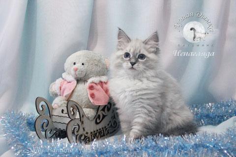 котенок, невская маскарадная, питомник Лунная Дымка