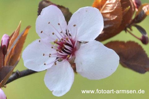 Apfel, Blüte, Blume, macro, Armsen