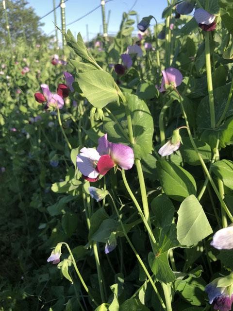 赤花が美しい川口エンドウ〜福島秀史さんの畑より