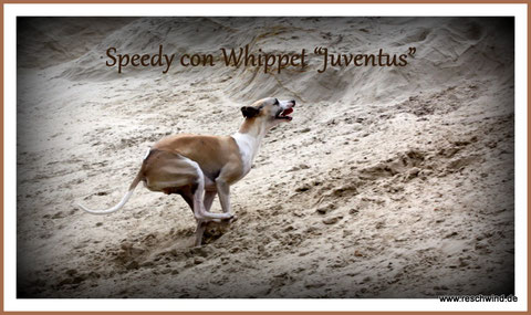 Der beste Whippet in Bremen........ the best Whippet in Bremen