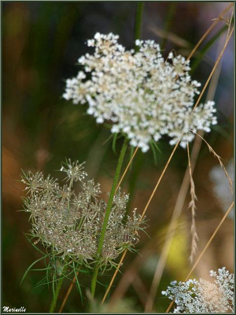 Fleurs de Carotte sauvage, flore sur le Bassin d'Arcachon (33)