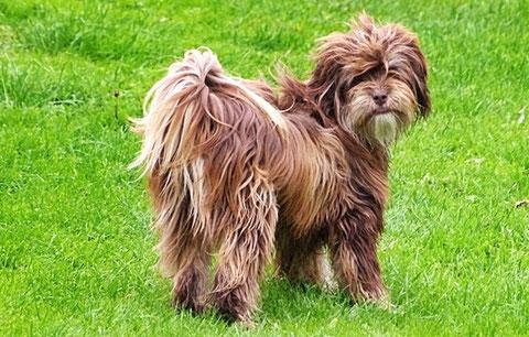 Nila ist die Schwester von Emma, die ich hier bereits vorgestellt habe. Zwei Schwestern mit unterschiedlicher Fellfarbe könnte man meinen und doch sind beide waschechte braune Tibet Terrier.