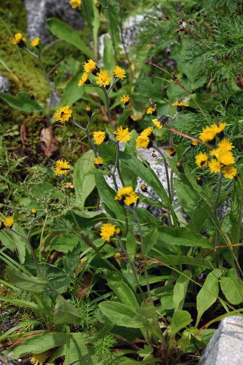 ミヤマコウゾリナ (深山顔剃菜) キク科 ヤナギタンポポ属 日本固有種