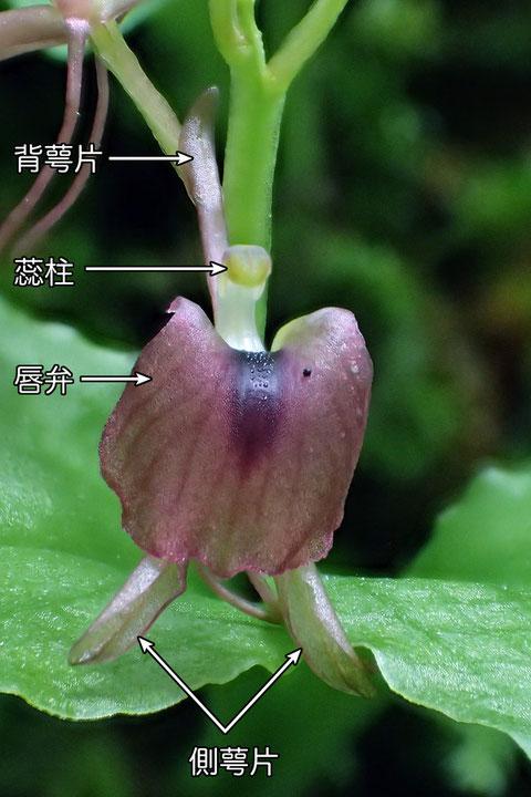 #8 フガクスズムシソウの花の正面