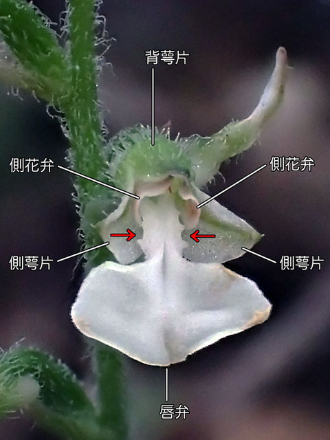 ハクウンランの花の構造 正面