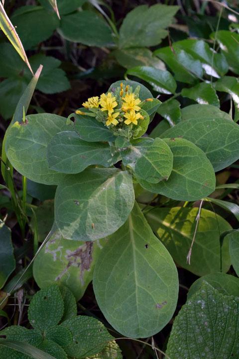 ワダンの側枝の葉は上段ほど密につきます。 葉は倒卵形で先は丸い
