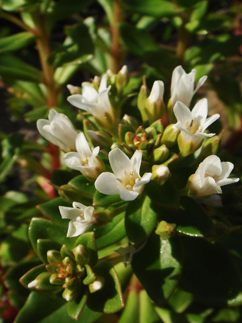 ハマボッスは日本全国の海岸に咲きます。 葉は厚く光沢があります