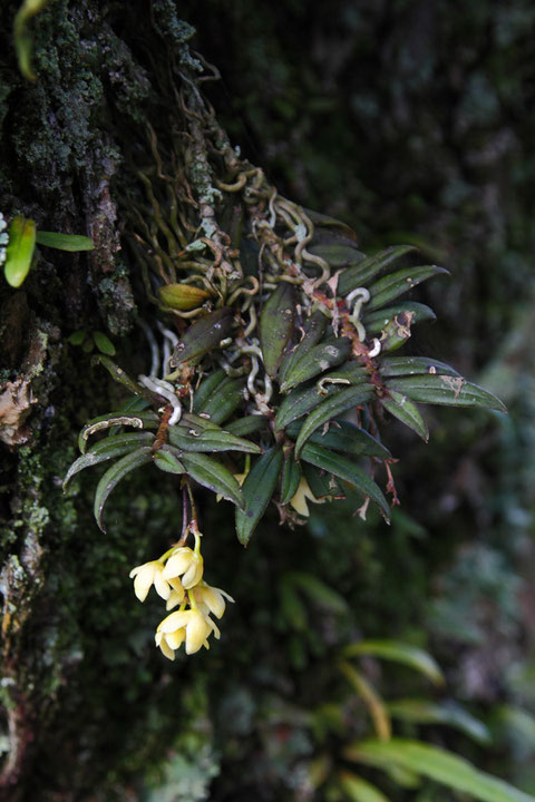 カヤラン (榧蘭) ラン科 カヤラン属  樹木の枝や幹に着生します