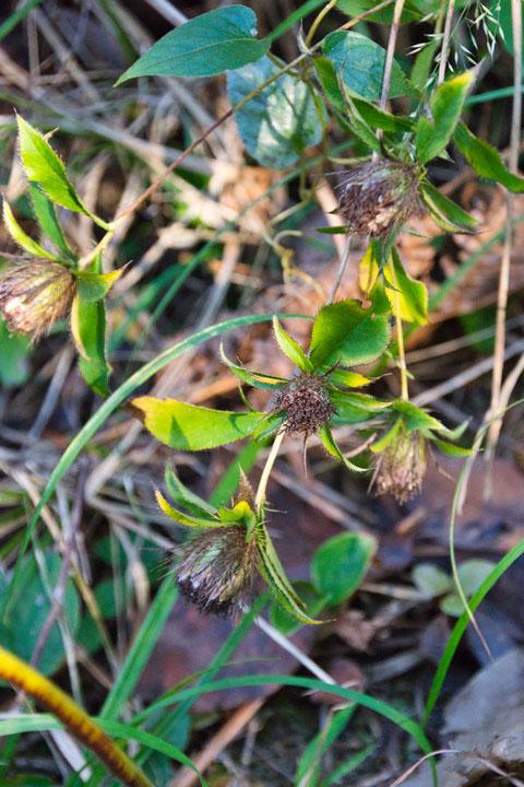 オケラ (朮) キク科 オケラ属  花は終わり、茎も垂れ下がっていた