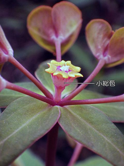 中心の杯状花序の側面