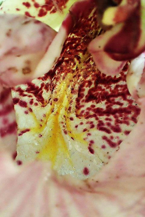 クマガイソウの唇弁内の黄色の隆起線は、まるで案内表示の矢印だ!