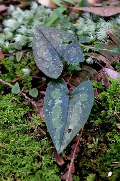 スズカカンアオイと思われる植物の葉。 特徴的な水滴のような斑紋があった