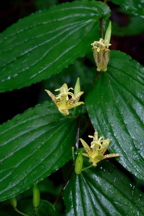 タマガワホトトギス (玉川杜鵑草) ユリ科 ホトトギス属