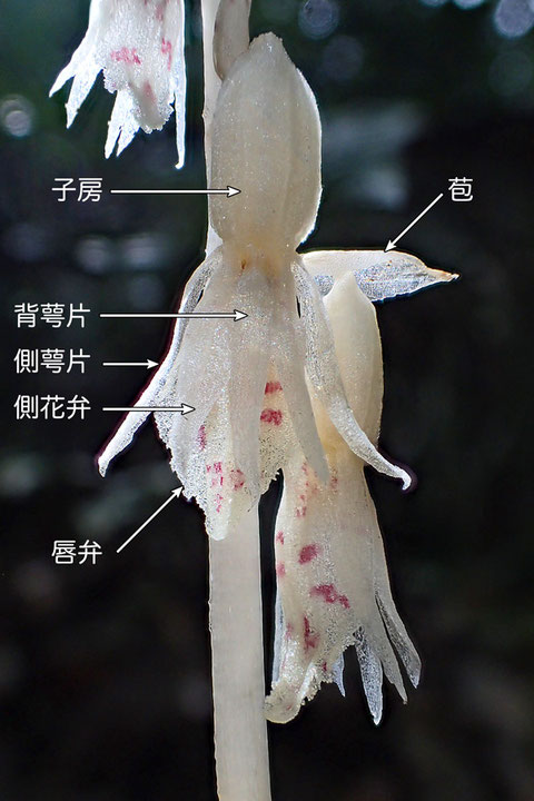 タシロランの花の構造 花の上面より(背萼片、側花弁、側萼片、唇弁、子房、苞)
