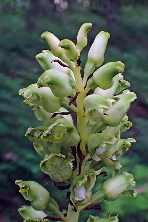 アオテンマの花はやや青味がかった、淡緑色。 翡翠の色を思い起こさせます