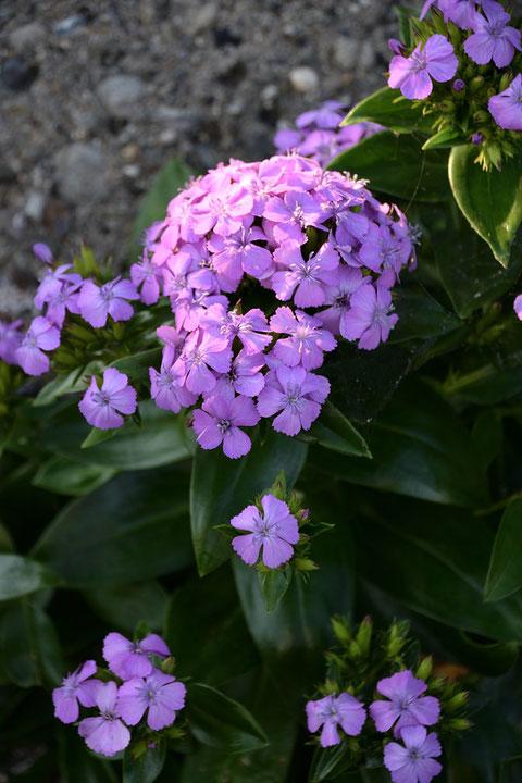 花弁の縁は細かく波打ち、カワラナデシコのように切れ込むことはありません