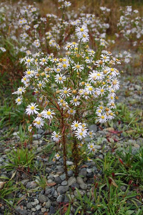 カワラノギク (河原野菊) はキク科シオン属の植物  今年は花つきがよい