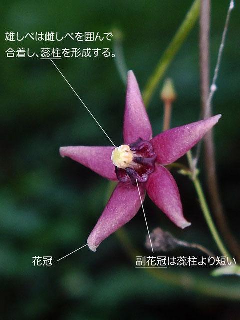 クサナギオゴケの副花冠は、蕊柱(ずいちゅう)より明確に短いのが特徴です