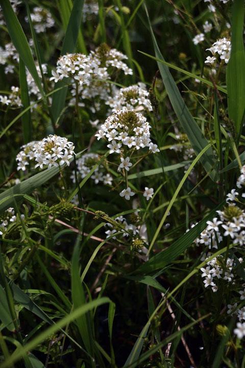 トウサワトラノオは、絶滅が危惧されている植物です。 この地と、愛知県の一部にしかいません。