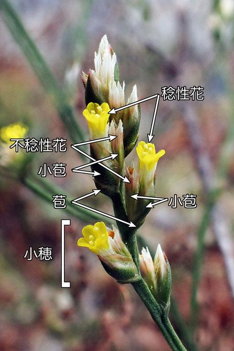 ハマサジの花は小さかった。 花冠は5裂し、長さは7mmほど