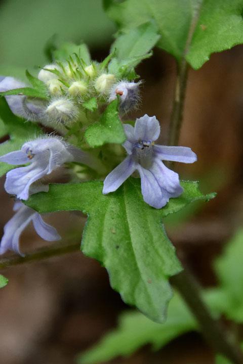 オウギカズラの、この淡い青紫色がなんとも美しい