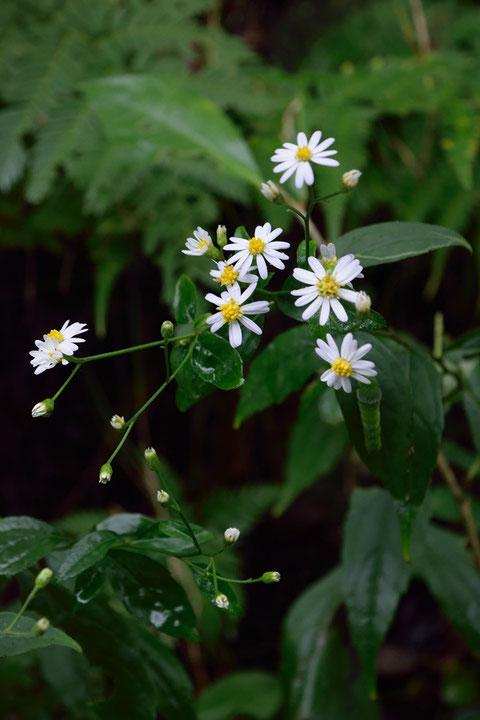 シロヨメナ (白嫁菜) キク科 シオン属