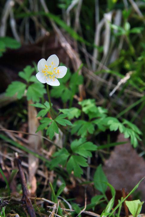 サンリンソウ (三輪草) キンポウゲ科 イチリンソウ属